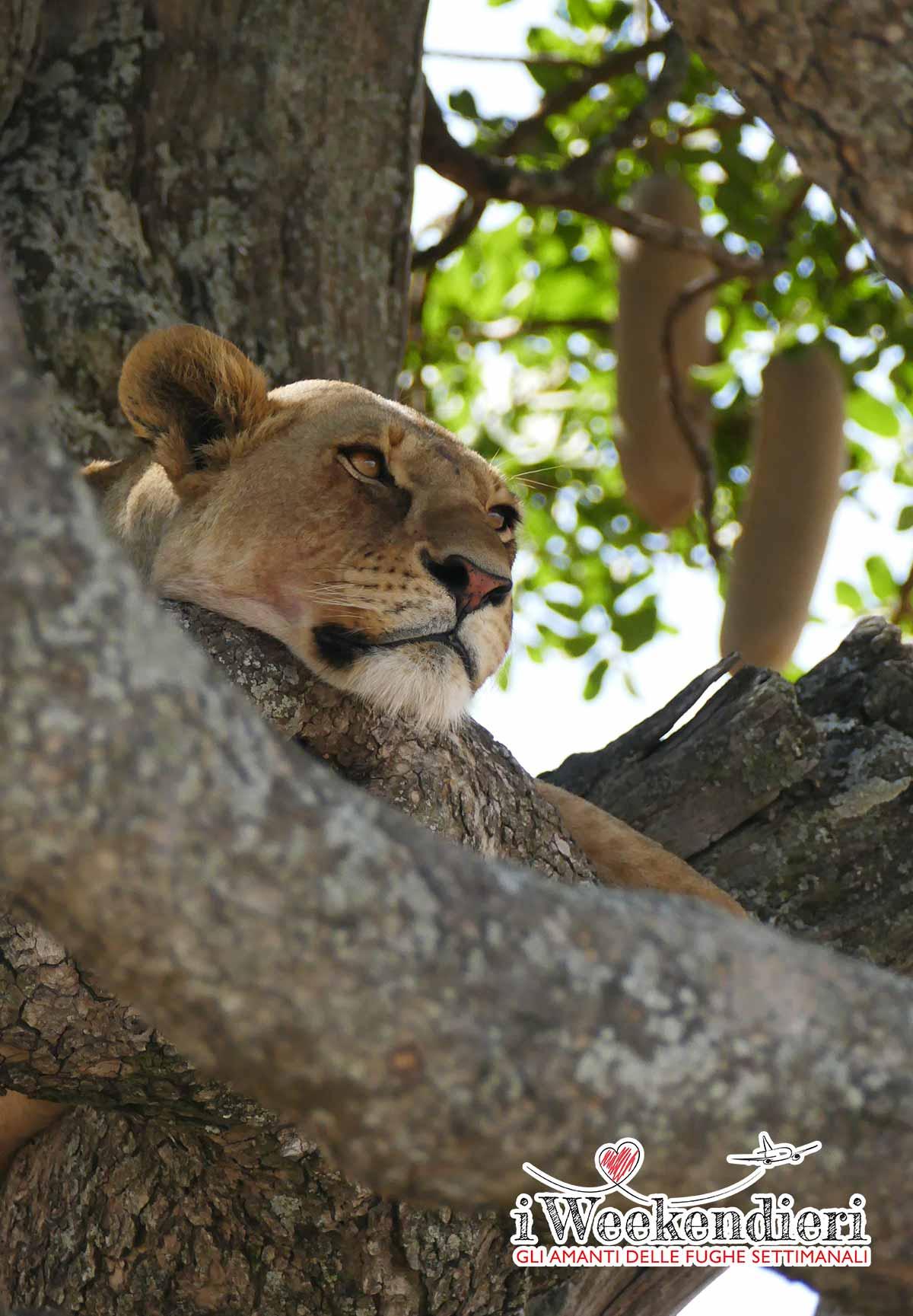 LEONESSA NELLA SAVANA IN TANZANIA