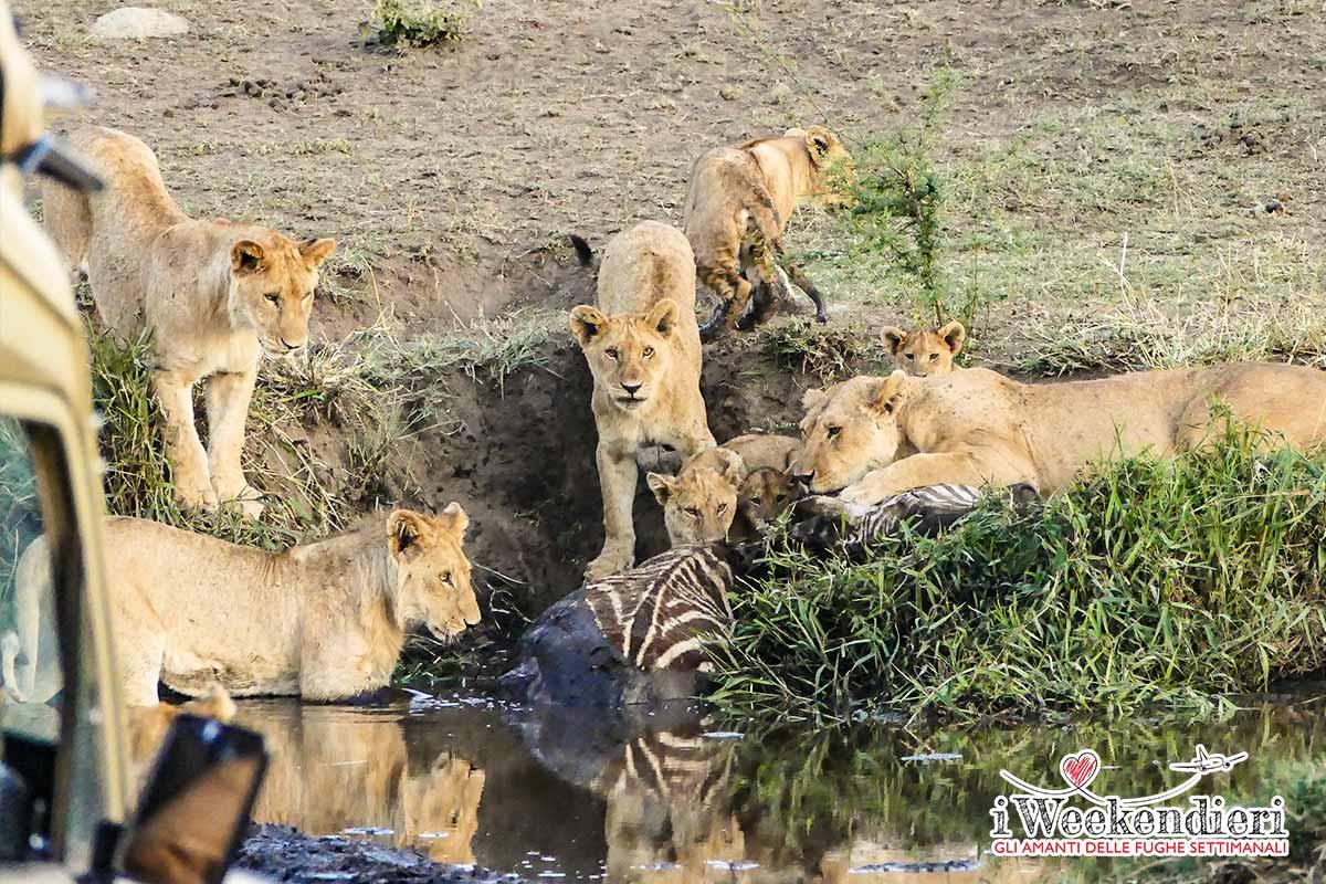 leoni che cacciano una zebra