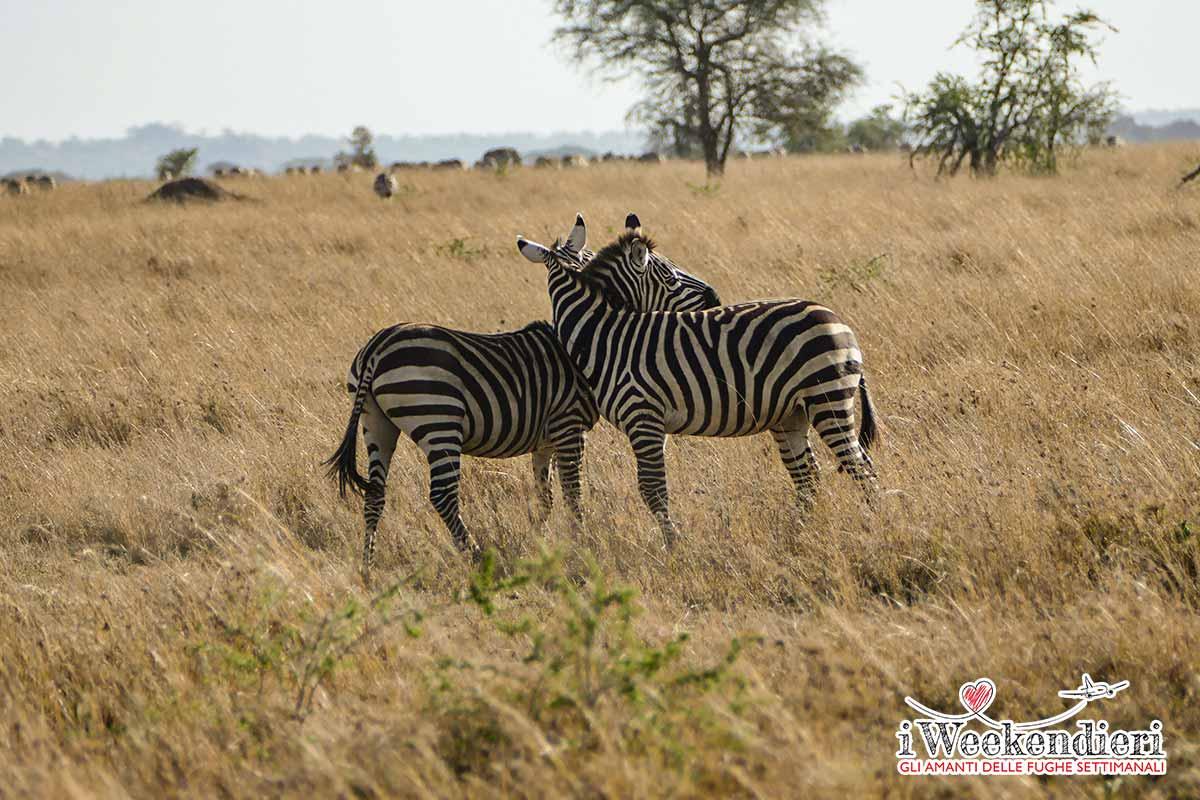 zebre nel ngorongoro