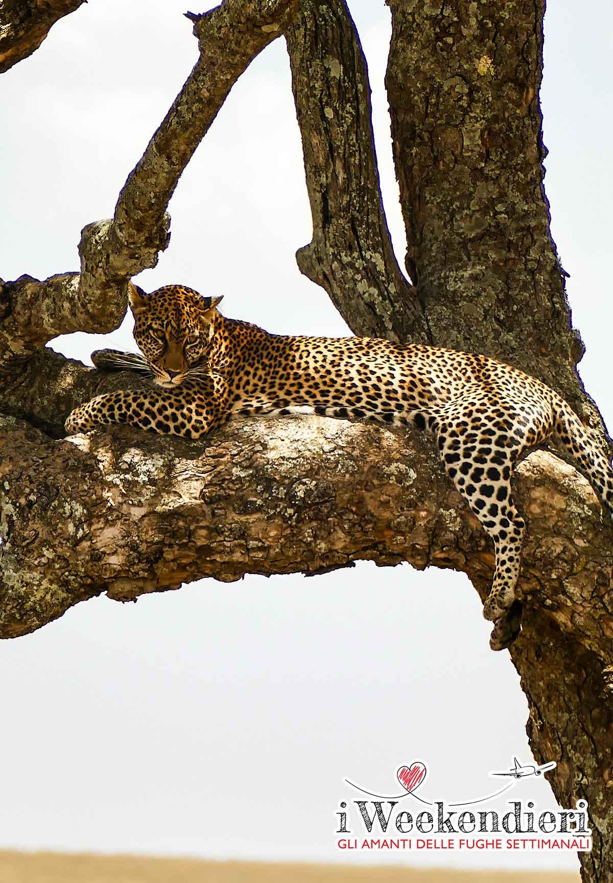 leopardo al ngorongoro